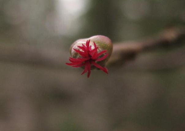 Blomma från Corylus avelanna, hassel