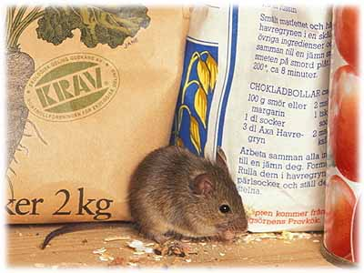 En mus i vårt hus!